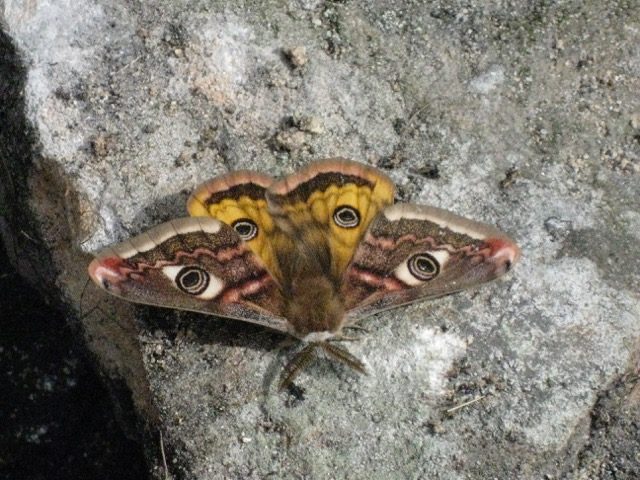 Butterfly on a dry stone wall